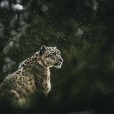 Snow Leopard in Qinghai